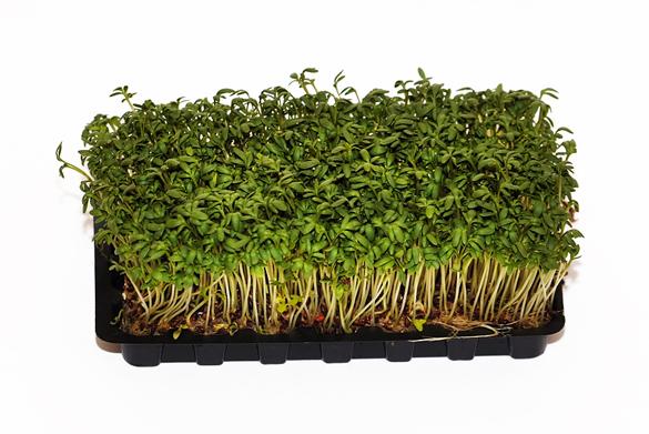 Kresse gartenkresse lepidium sativum - Fensterbank englisch ...